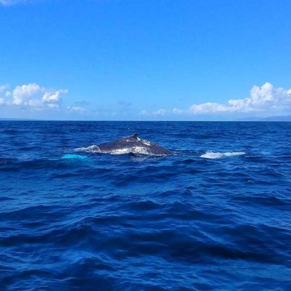Whalewatching in Samaná, one of the top highlights in the Dominican Republic