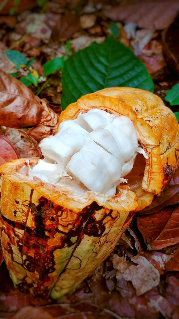 A cacao bean in the Dominican Republic